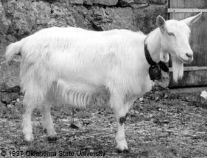 Frank LiveJournal goat